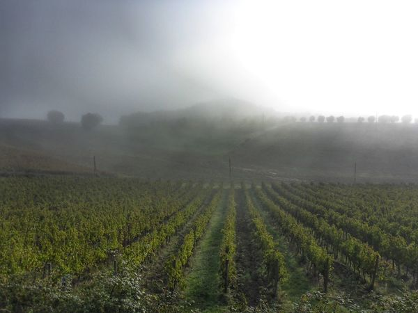 Field Agriculture Rural Scene Landscape Growth Farm Tranquility Tranquil Scene Fog Beauty In Nature Scenics Nature Grass Weather Vineyard Foggy Crop  Plantation In A Row Sky Toscana Tuscany Tuscany Countryside