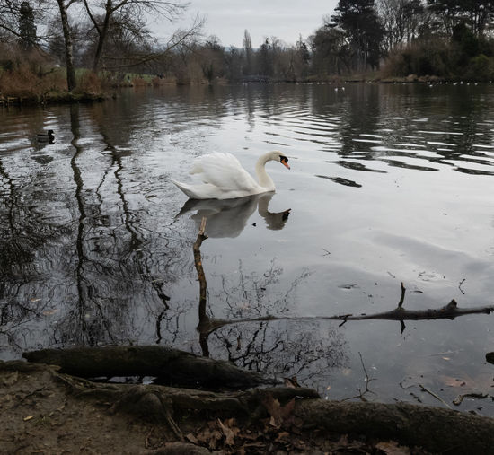 Water Lake Bird Reflection Swan Swimming Floating On Water Day Beauty In Nature Nature