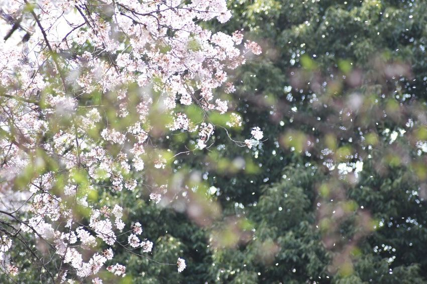 My Point Of View Petal Flowering Plant Flower Plant Fragility Freshness Beauty In Nature Growth Blossom Tree Springtime Day No People Close-up Selective Focus Cherry Blossom