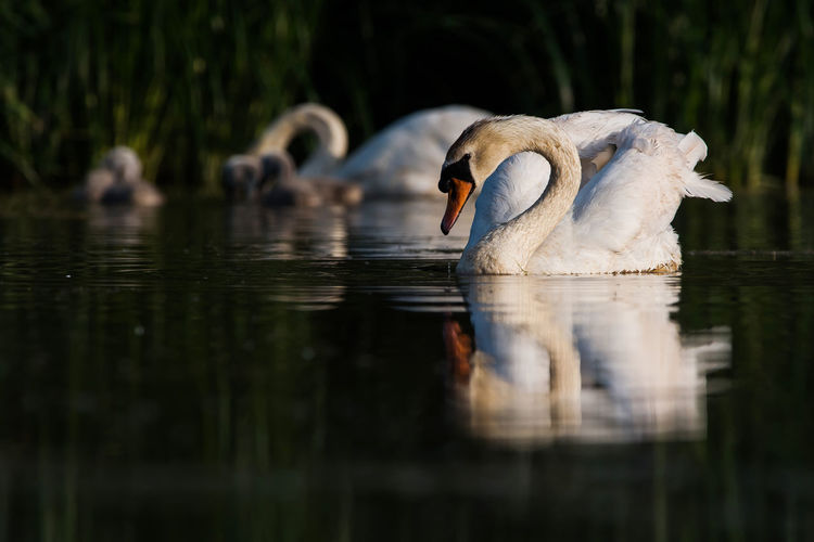 Family of mute swan cygnus olor on a feeding ground with young at dawn