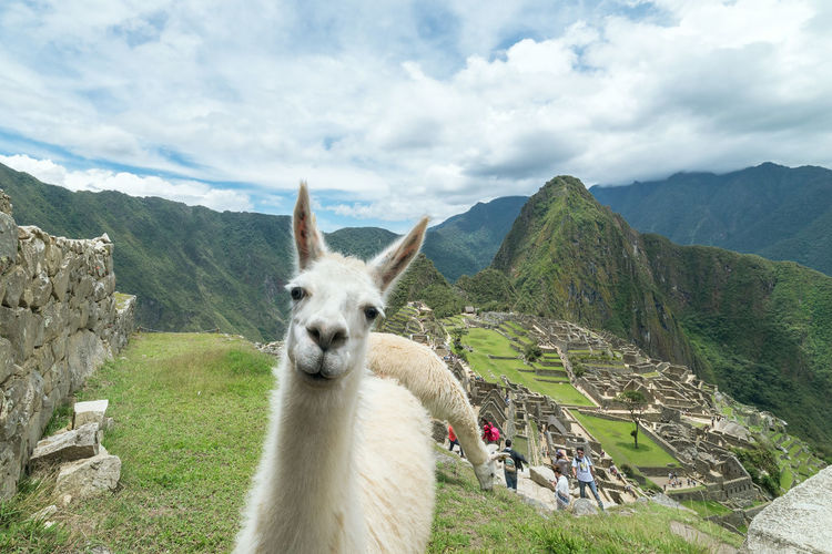 Machu Picchu Animal Themes Cloud - Sky Animal Mountain Mammal Livestock Llama Sky Mountain Range Nature Vertebrate Landscape Day Scenics - Nature Architecture Archaeology Archaeological Sites Ruined Travel Travel Destinations Machu Picchu Machu Picchu - Peru Heritage Heritage Site Ancient Civilization