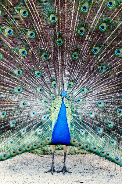 This peacock leaves in someone's house garden in a town in Minas Gerais, in Brazil, alongside with the chickens and ducks Animal Themes Animal Wildlife Animals In The Wild Beauty In Nature Bird Blue Close-up Day Fanned Out Feather  Multi Colored Nature No People One Animal Outdoors Peacock Peacock Feather Portrait