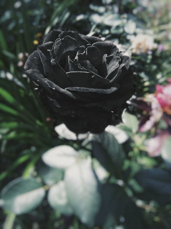 Rosé No People Plant Close-up Nature Mammal Black Outdoors Day First Eyeem Photo Roseflower