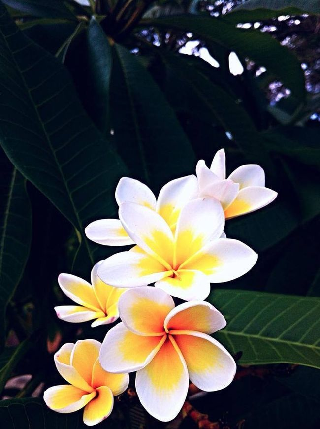 Flowers Frangapani Nature Nature_collection EyeEm Nature Lover