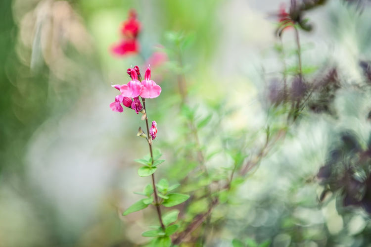 Salvia Pineapple Scarlet Beauty In Nature Close-up Day Flower Flower Head Flowering Plant Focus On Foreground Fragility Fragrant Sage Freshness Growth Inflorescence Nature No People Outdoors Petal Pink Color Plant Plant Part Selective Focus Vulnerability