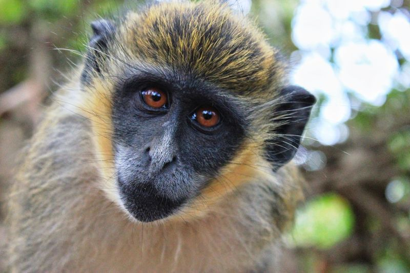 EyeEmNewHere Primate Mammal One Animal Animal Wildlife Animals In The Wild Portrait Vertebrate Looking At Camera Close-up Nature Ape Animal Eye