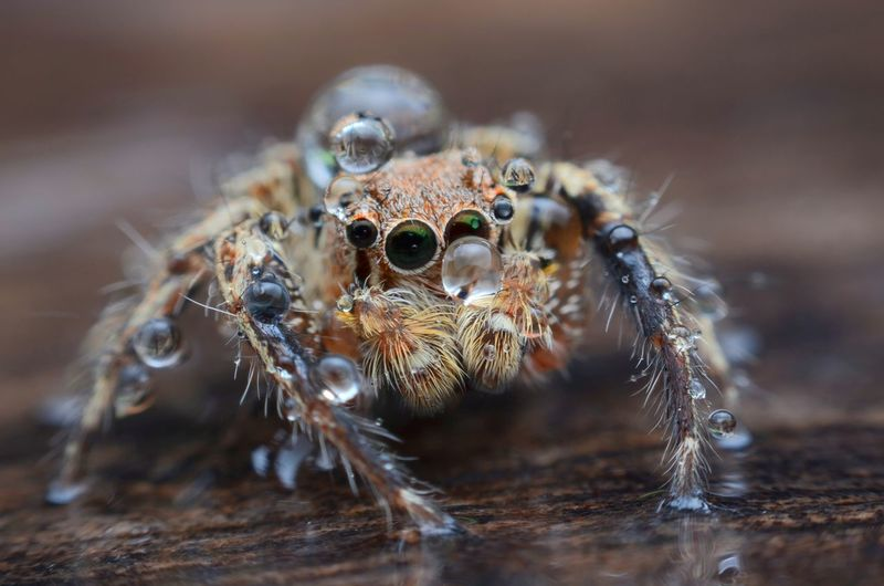 Spiders are in the rain. Diptera Fly Macro Macro Nature Incects Drop Rain Portrait Looking At Camera Jumping Spider Spider Close-up Arachnid Prey Kingfisher Web Cocoon Poisonous Arthropod Animal Eye Spider Web HEAD Magnification Animal Leg Invertebrate Housefly Chachoengsao
