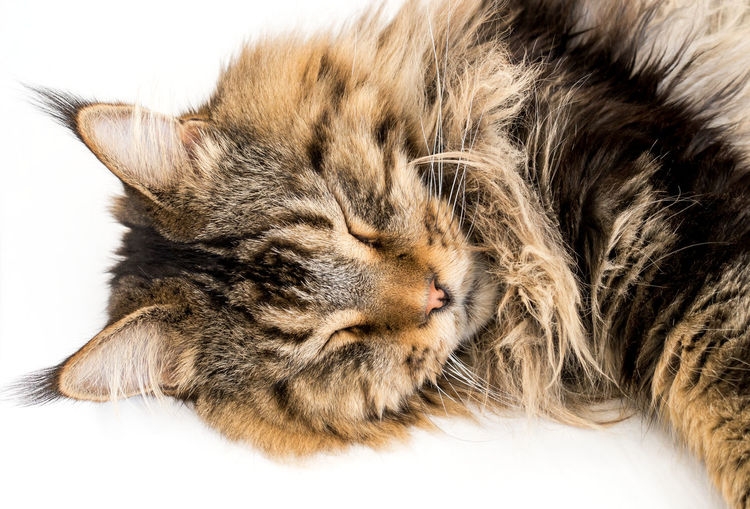 Black Tabby Black Tabby Cat Golden Isolated Maine Coon Cat Animal Animal Head  Brown Tabby Cat Close-up Cozy Domestic Ear Tufts Eyes Closed  Feline Lynx Tips Maine Coon Napping No People Pets Relaxation Sleeping Studio Shot Tabby