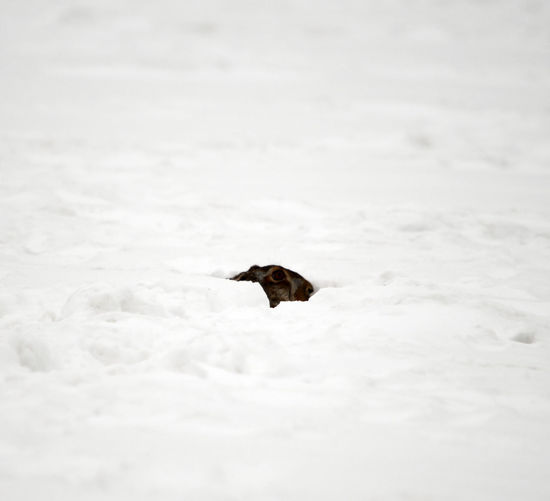 European or brown hare (lepus europaeus) hidden under the snow Ice Lepus Europaeus Run Snow ❄ Wildlife & Nature Winter Animal Themes Brown Hare Day Difficult Difficult Life Hare Jumping Lepus Mammal Mammals Nature No People One Animal Outdoors Snow White White Color Wild Wildlife