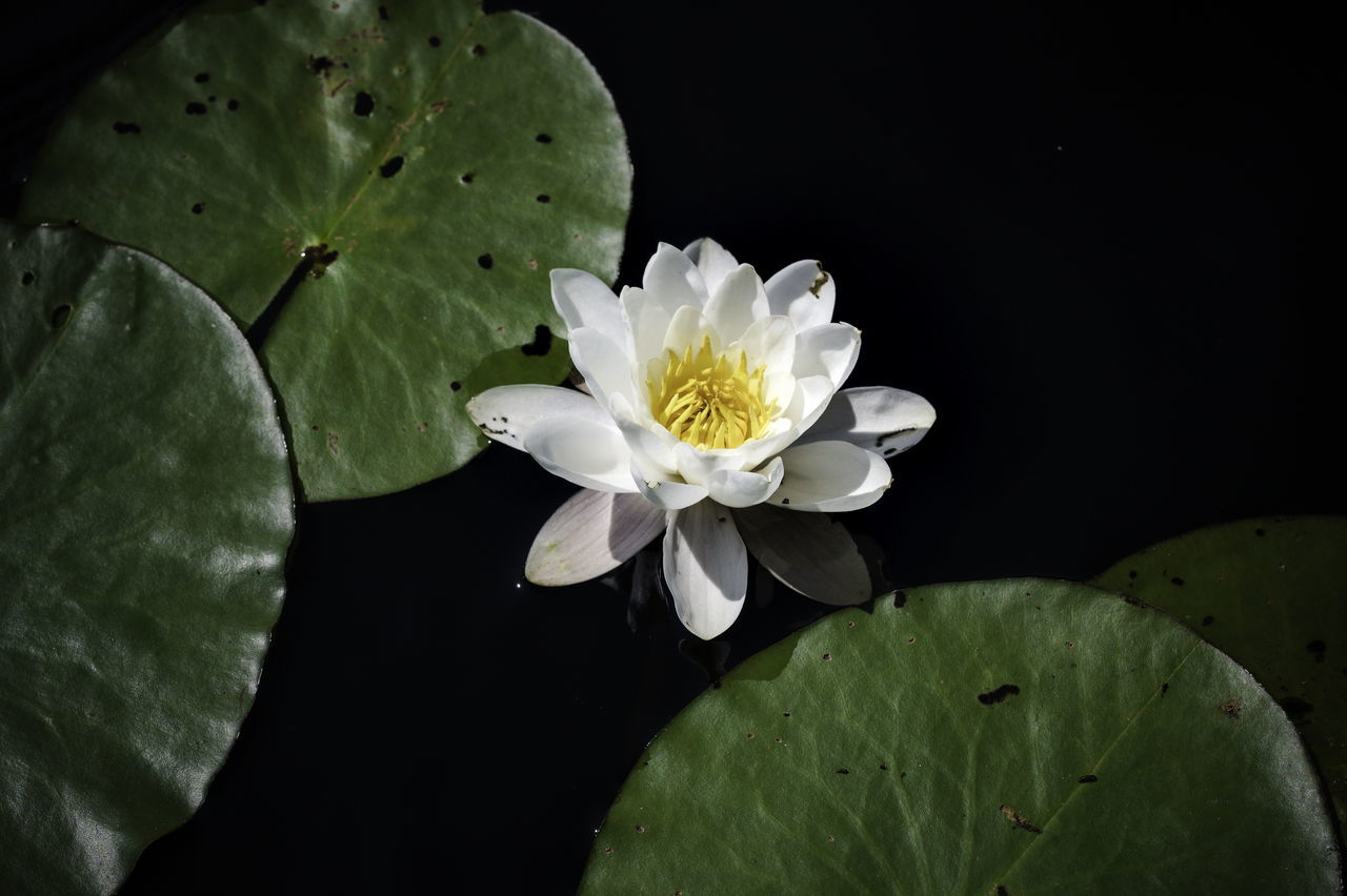 flower, flowering plant, plant, freshness, beauty in nature, green, water lily, leaf, plant part, macro photography, petal, nature, flower head, close-up, inflorescence, fragility, aquatic plant, water, pond, yellow, growth, pollen, lotus water lily, lily, no people, floating, floating on water, white, black background, blossom, botany, outdoors, plant stem, springtime