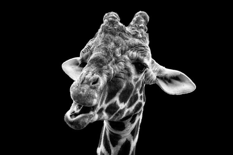 No People Black & White Black Background EyeEm Ready   EyeEmNewHere Giraffe Animal Themes Black And White Blackandwhite Dots Wildlife