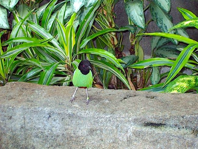 Hooded Pitta Avian Bird Close-up Green Green Color Leaf Nature Zoo Black Stone Cement Block Cement Standing Hooded Pitta Pitta Detroit Zoo Leaves Plants Green Leaves Feather  Feathers Black Head Beak Small Bird Detroitzoo