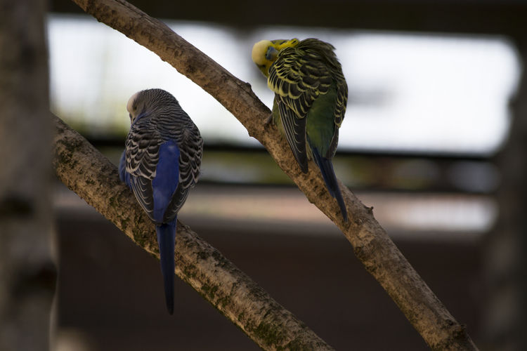Budgerigar Melopsittacus Undulatus Animal Bird Branch Day Group Of Animals Nature No People Parrot Perching Selective Focus Tree