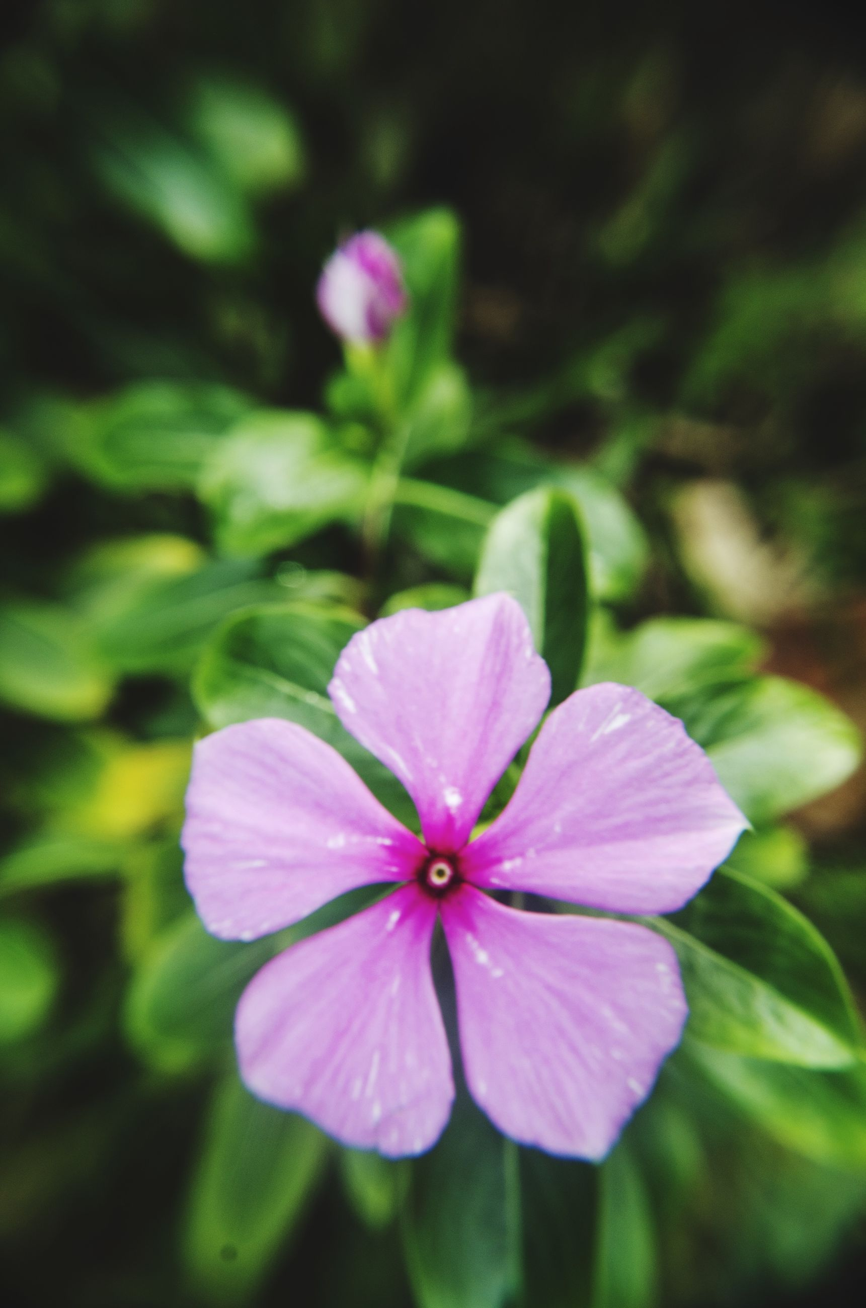 flower, petal, freshness, fragility, growth, flower head, beauty in nature, close-up, focus on foreground, pink color, blooming, nature, plant, in bloom, selective focus, purple, pollen, day, stamen, outdoors
