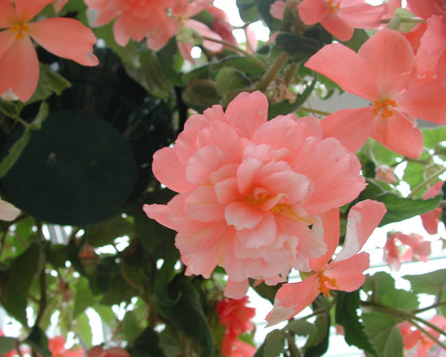Begonia Orange Pink Beauty In Nature Blooming Close-up Day Flower Flower Head Fragility Freshness Growth Nature No People Outdoors Petal Pink Color Plant