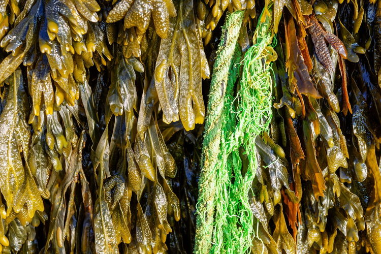Shades of Seaweed 01. Such a rich abundance of colour and texture. Sony Rx1r with edit in Lightroom and DXO pro 10. Abstract Abundance Beautiful Nature Beauty In Nature Check This Out Close-up Creative Light And Shadow Detail Eye4photography  EyeEm Nature Lover Full Frame Green Color Growth Natural Pattern Nature Outdoors Seaside Seaweed Selective Focus Textured  Textures And Surfaces