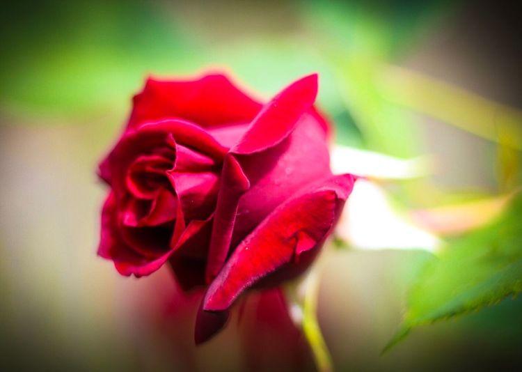Guinea Rosa