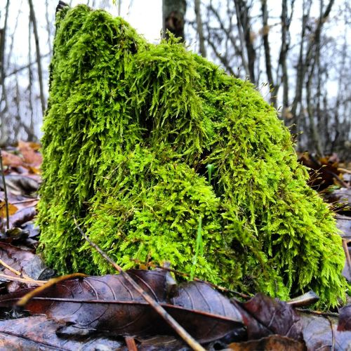 Nature Green Color Beauty In Nature Outdoors Moss Mossy Tree Mossyforest No People