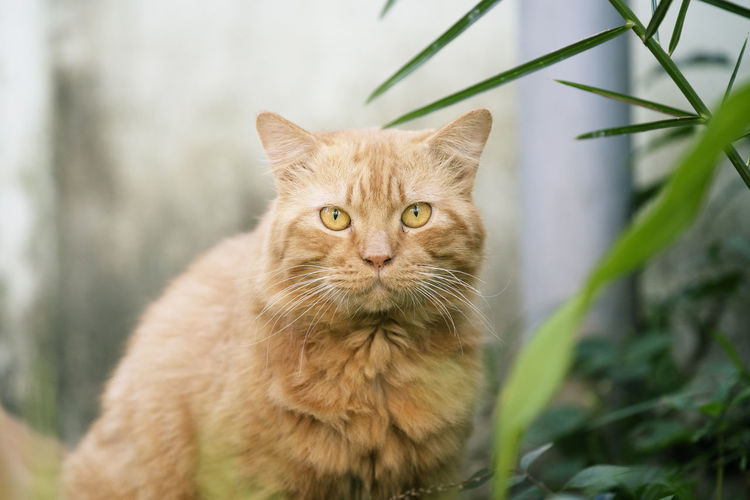 Close up head orange cat Cat Domestic Cat Feline Domestic Domestic Animals Pets Animal Themes Mammal Animal One Animal Portrait Looking At Camera Vertebrate Plant No People Whisker Focus On Foreground Nature Sitting Looking Ginger Cat Animal Head  Tabby Animal Eye