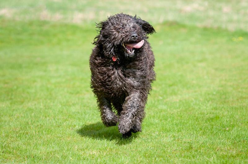 Black dog looking away on field