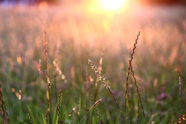 Close-up of plant growing on field at sunset