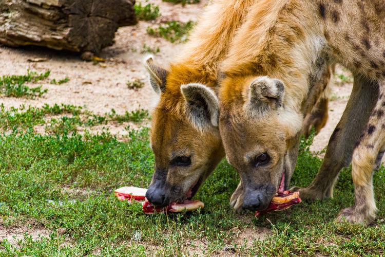 Hyäne Hyänen
