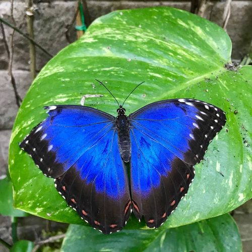 Butterfly Insect Animal Themes Leaf Plant Part Animal Wildlife One Animal Animal Invertebrate Animals In The Wild Green Color Blue Beauty In Nature Animal Wing Butterfly - Insect Nature Day No People Animal Markings