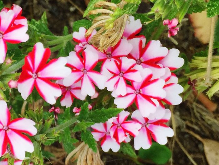 Verbena Red And White Candy Cane Red And White Striped Flower EyeEm Nature Lover Plant Taking Photos Nature_collection Green Leaves Petals Flowers