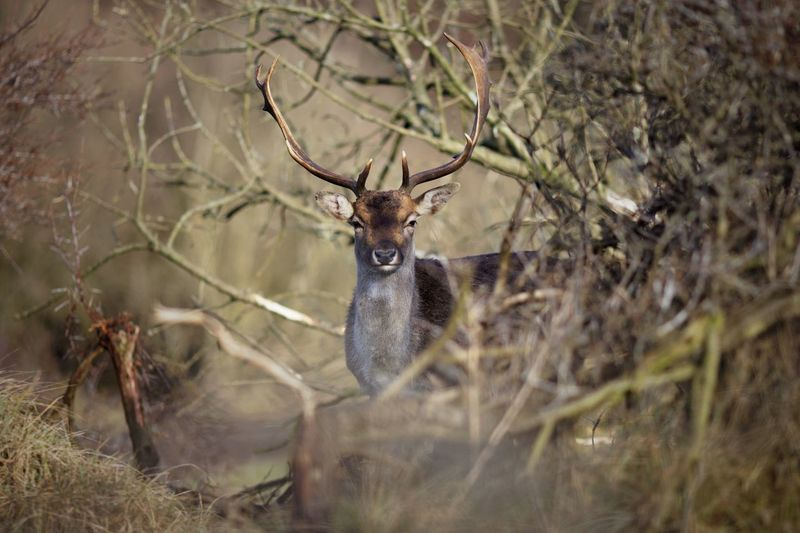 Fallow stag 2018 For Bokeh's Sake Deer One Animal Animals In The Wild Animal Themes Animal Wildlife Antler No People Nature Mammal Stag Day Outdoors Grass