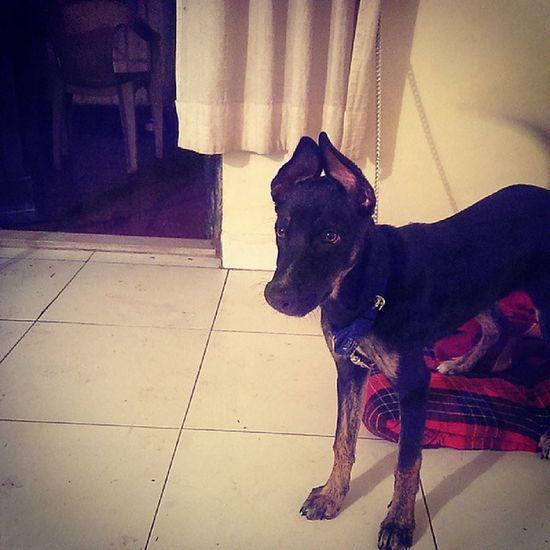 Odie all big. Pet Dog Mixedbreed