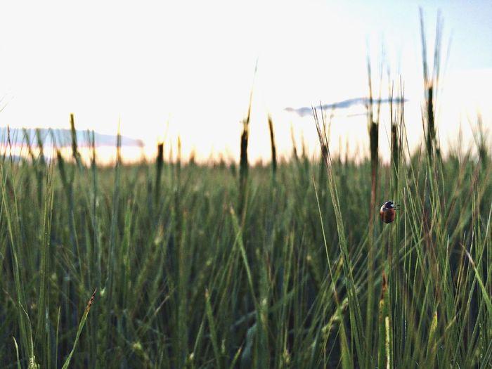 божья коровка Природа Plant Growth Land Sky Field Nature Tranquility EyeEmNewHere