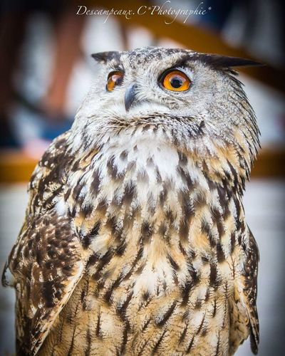 EyeEm Selects Hiboux Eye Animal Head  Portrait Looking At Camera Bird Animal Themes Nature Bokeh Rapaces Animal Body Part Beauty 24mm F1.4