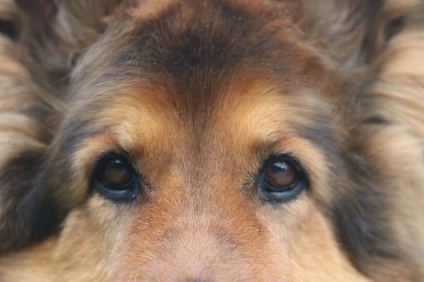 One Animal Pets Dog Canine Mammal Domestic Domestic Animals Animal Animal Themes Animal Body Part Close-up Brown Portrait No People Looking At Camera Animal Head  Eye