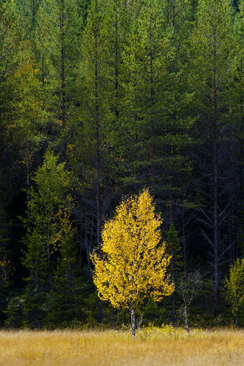 Yellow tree in forest