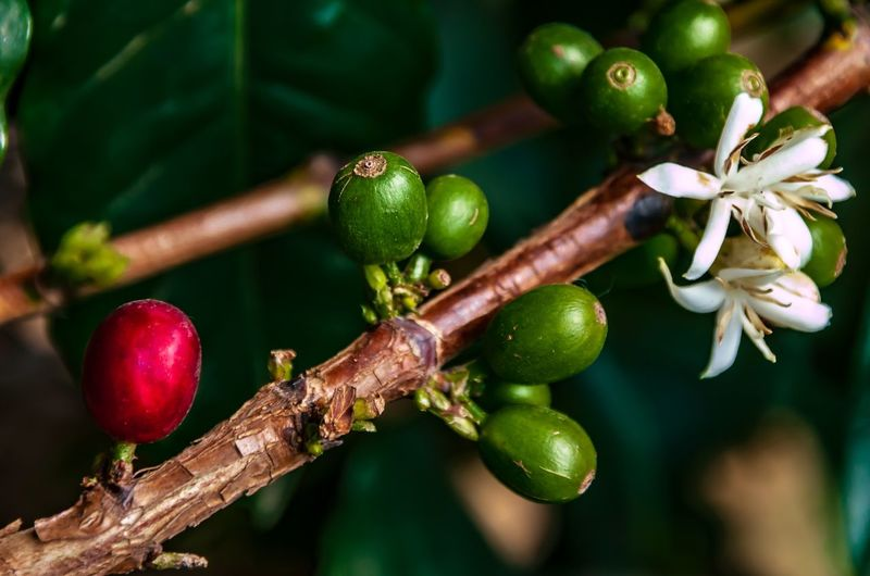 Arabica Coffee Coffee Cherry Coffee Farm Life Coffee Fruit Plant Food And Drink Growth Focus On Foreground Close-up Green Color Food Freshness Healthy Eating No People Beauty In Nature Nature Tree Branch Day Plant Part Leaf Flower Red