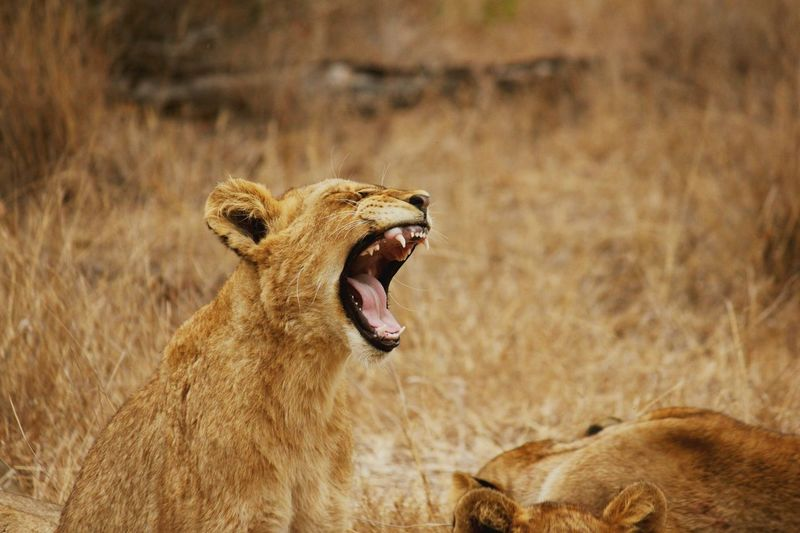 Lioness yawning on field