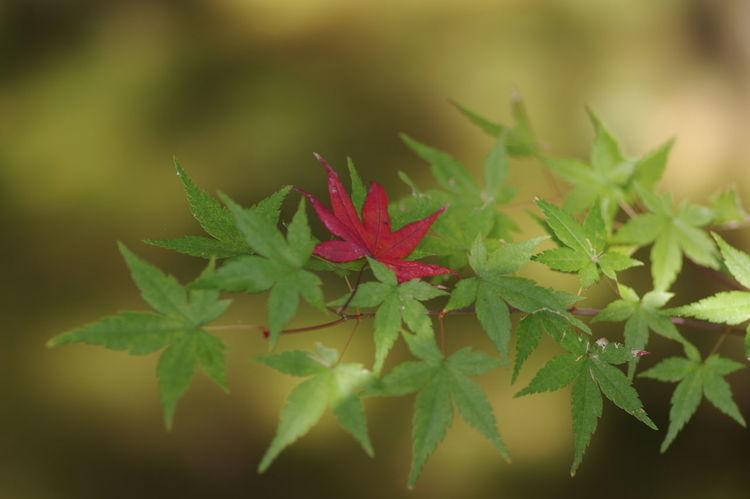 鹿王院 紅葉2016 紅葉 紅葉🍁 Nature_collection Nature Photography Autumn Beauty In Nature Maple Leaf Nature