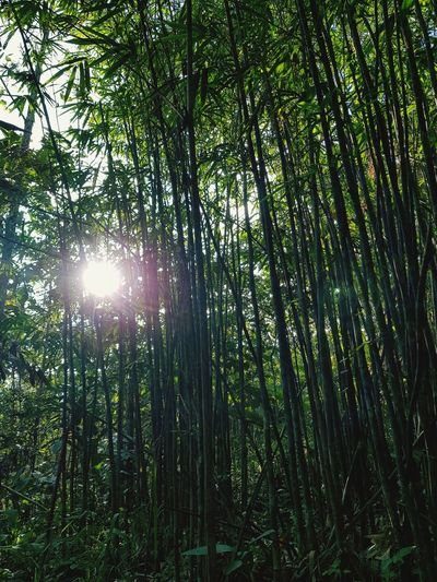 Bamboo and