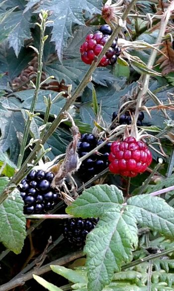Taking Photos Nature_collection OpenEdit Beauty Of The Pacific Northwest Green Blackberries Wild Berries Nature's Bounty Berries Things I Like