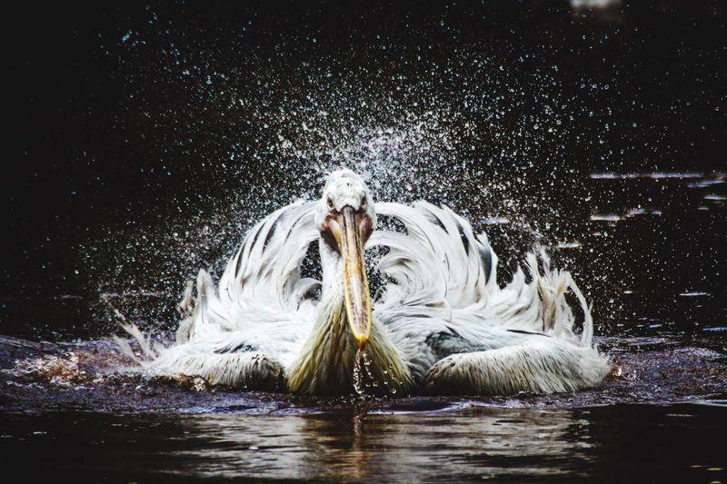 Pelican shaking on water