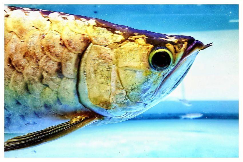 Arrowana Dragonfish Arrowana Aquarium Golden Pet Photography  Close-up Blue