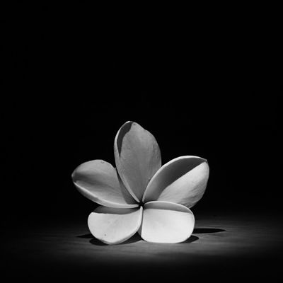 Plumeria Blackandwhite TheMinimals Flowers