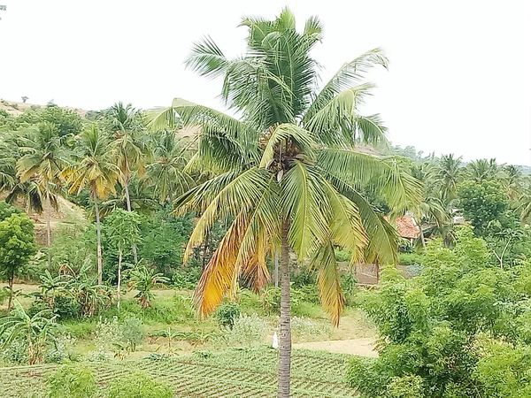 Cocunt tree Beauty In Nature Coconut Palm Tree Non-urban Scene Outdoors Day Place Pauparapatt Dharmapuri TN India