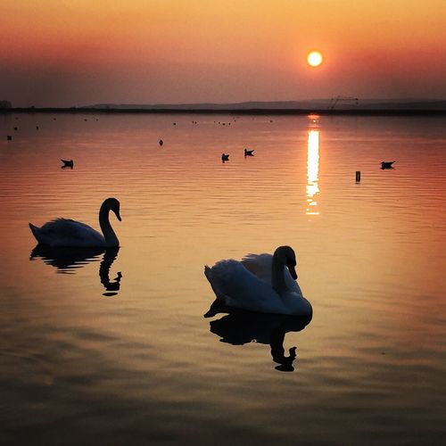 View Of Swans In Lake At Sunset
