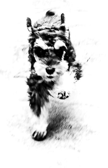 Happiness Action Animal Themes Black And White Day Dog Freedon Hight Contrast Liberty Nature No People Outdoors Running Dog Running Schnauzer Schnauzer Small Dogs