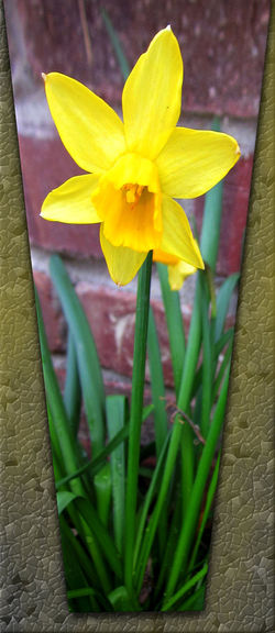 'Yellow Daffodil Stone Wall Perspective Illustration'. Narcissus flowers are usually the first flowers to bloom, signifying Spring is on its way. This bright, lemon yellow and orange Daffodil looks beautiful against the stone wall background of a house. Amaryllis Family EyeEmNewHere Garden Flowers Background Wallpaper Blooming Flower Brick Wall Stones Bright Yellow And Orange Close-up Daffodil Day Daytime Photography Flower Illustration Art No People Outdoor Plants Outdoors Photo Manipulation Photomanipulation Saffron Yellow Blooms Soft Focus Undertone Soft Romantic Springtime Blossoms Star Shaped Flower Sunny Day ☀ Sunshine Yellow