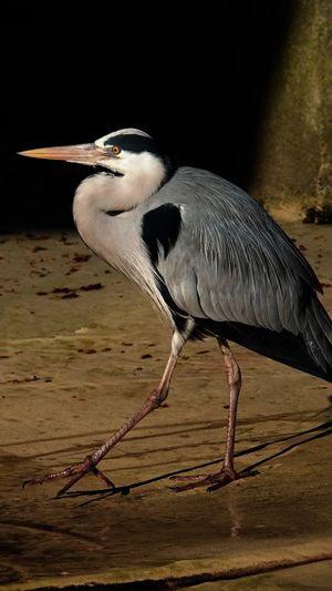 Heron Long Legged Bird Long-legged Bird Photography Birds Of EyeEm  Animal Animal Themes One Animal Vertebrate Bird Animal Wildlife Animals In The Wild Beak Nature Animal Neck Water Bird Side View Perching No People Water Day Close-up Focus On Foreground