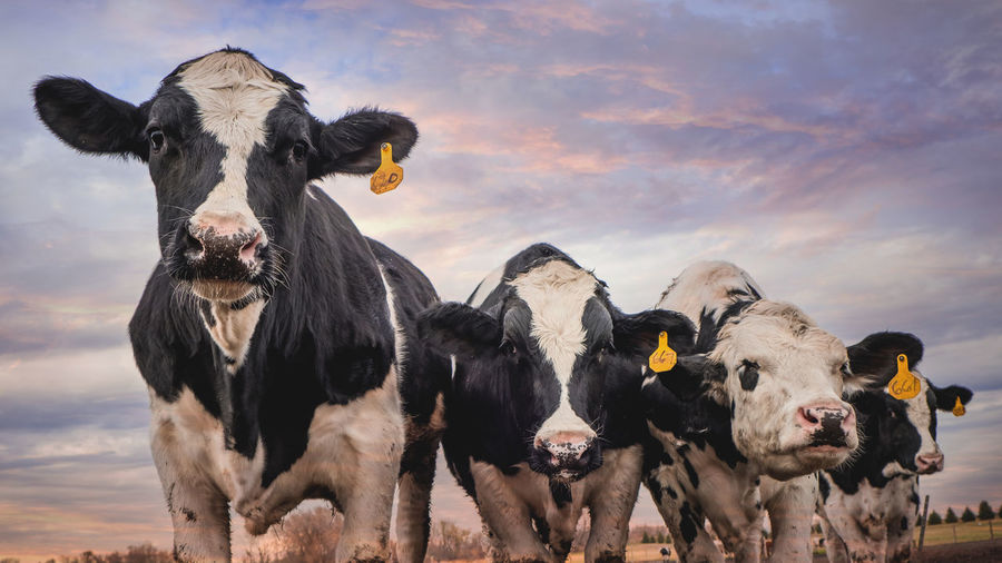 Portrait of cows standing against sky