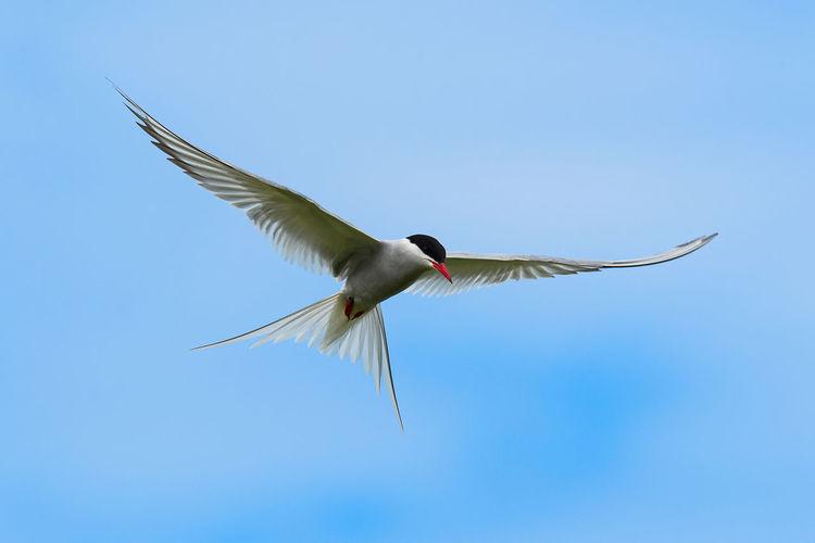 Arctic Tern -