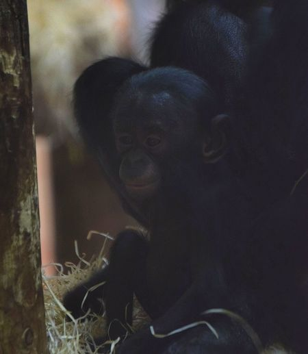 Bonobo Baby Bonobo Singe Monkey Bébé Bonobo Lovely Full Frame Indoors  No People Backgrounds Close-up Day Nature
